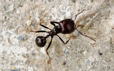 Ants restore Mediterranean dry grasslands