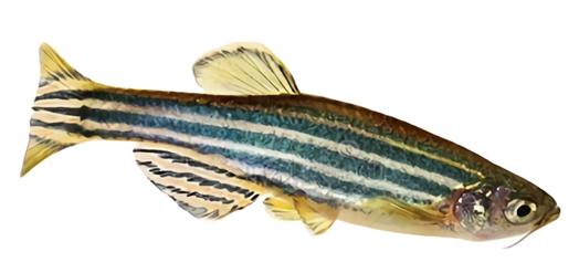 Zebrafish: a small aquarium fish versus diseases
